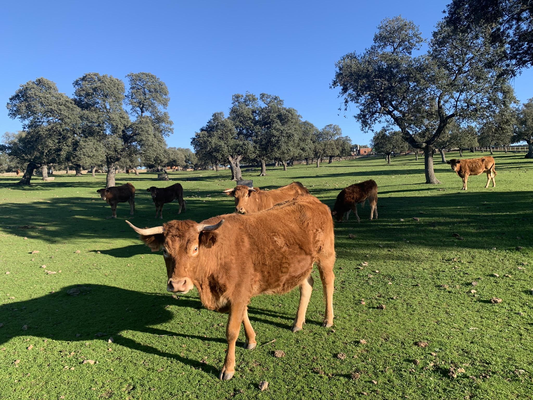 comercio internacional de carne de vacuno - apm murcia