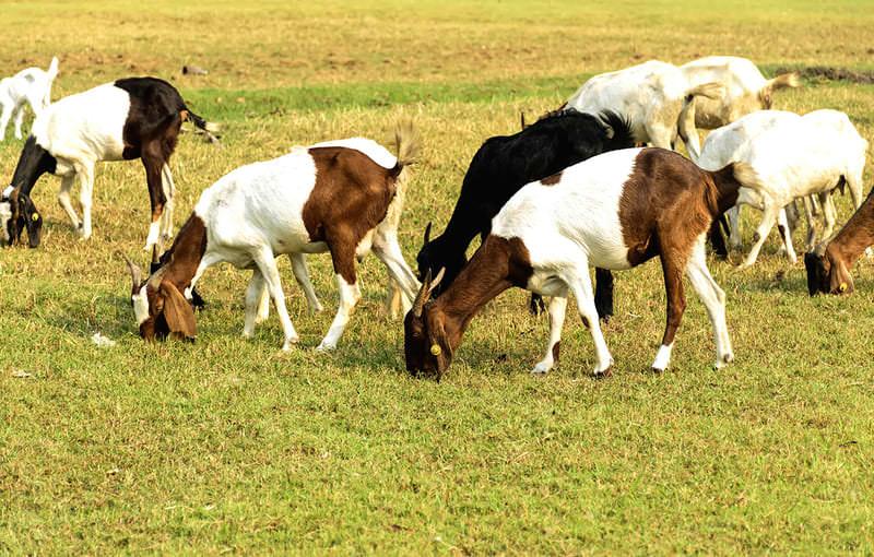 comercio internacional de carne de caprino - apm murcia