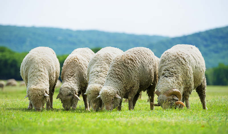 comercio internacional de carne de ovino - apm murcia